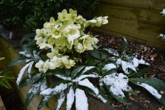 Helleborus in snow. Hellebores in the snow, late spring, UK stock images