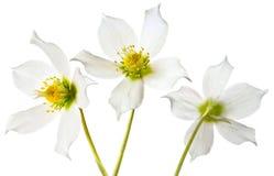 Helleborus spring flowers. Three Helleborus flowers on white background Royalty Free Stock Photo