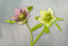 Helleborus. View of an  Helleborus flowers on a Blue and gray background Royalty Free Stock Image