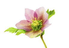 Helleborus. View of an  Helleborus flowers on a white background Stock Images
