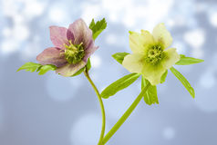 Helleborus. View of two Helleborus flowers on a cloudy background Stock Images