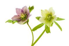 Helleborus. View of a two Helleborus flowers on a white background Stock Image