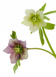 Helleborus. View of two Helleborus flowers on a white background Stock Images