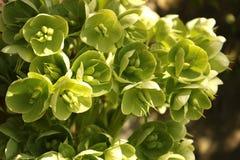Helleborus viridis. Or green hellebore Stock Photos
