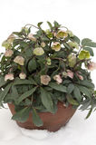 Helleborus in Winter. A pot of beautiful Helleborus flowers isolated on a background of crispy white snow Stock Photo