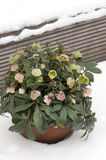 Helleborus in Winter. A pot of beautiful Helleborus flowers standing in the crispy white snow Royalty Free Stock Image