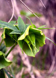 Helleboruscyclophyllus Arkivfoto