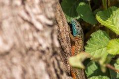 Hellenolacerta graeca,wall lizard.  Royalty Free Stock Photos