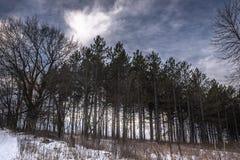 Heller blauer Himmel und Kieferwald im Winter Lizenzfreie Stockfotografie
