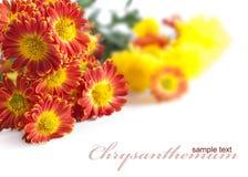 Heller Blumenstrauß der Chrysanthemen Stockfoto