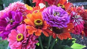 Heller Blumenstrauß von multi farbigen Zinniablumen Ein Zinniablumenstrauß von gerade Schnittblumen stock video footage
