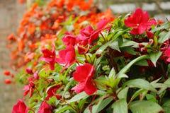 Heller Busch von roten Blumen Stockfoto