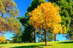 Heller gelber Baum im Adelaide-Stadtpark Lizenzfreie Stockfotografie