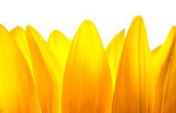 Heller gelber Blumen-Abschluss Hintergrund Beschaffenheit Stockfotos
