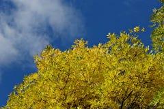 Heller gelber Herbstlaub und blauer Himmel des freien Raumes Stockbild