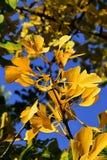 Heller gelber Herbstlaub von Ginkgo Biloba-Baum, Hintergrund des blauen Himmels Lizenzfreie Stockbilder