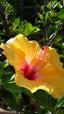 Heller gelber Hibiscus lizenzfreies stockfoto