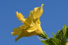 Heller gelber Hibiscus mit blauem Himmel als Hintergrund und grünem Laub stockfotos