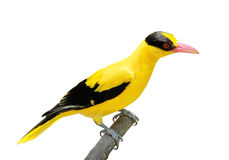 Heller gelber Vogel stockfotos