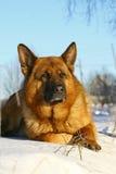 Heller Hund, der auf einem Schnee liegt Stockbild