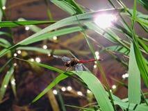 Heller Libellenmorgen Stockfoto