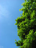 Heller Platane-Baum Lizenzfreie Stockfotografie