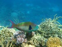 Heller Regenbogenpapageienfisch auf Riff Stockfotografie