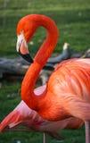 Heller rosa Flamingo auf dem grünen Hintergrund Stockbild