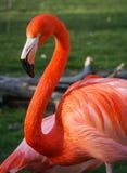 Heller rosa Flamingo auf dem grünen Hintergrund Lizenzfreie Stockfotos