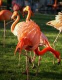 Heller rosa Flamingo auf dem grünen Hintergrund Lizenzfreies Stockbild