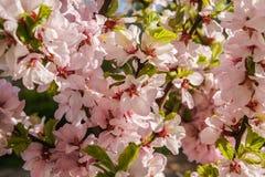 Heller rosa grüner Hintergrund des Frühlinges von Kirschblüten und von empfindlichen grünen Blättern Stockfotografie