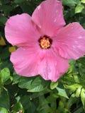 Heller rosa Hibiscus auf Busch im Sonnenlicht in der Garten-Einstellung Stockbild