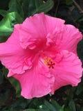 Heller rosa Hibiscus auf Busch im Sonnenlicht in der Garten-Einstellung Lizenzfreie Stockfotografie