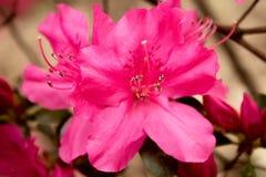 Heller rosa Labrador-Tee (Rhododendron) stockfotos