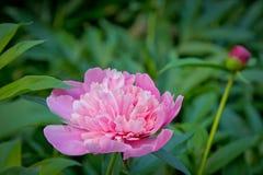 Heller rosa und weißer Pfingstrose ib Sommer Lizenzfreie Stockbilder