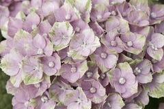 Heller rosafarbener Hortensia Stockbild