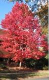 Heller roter Herbstahornholzbaum Stockfotografie