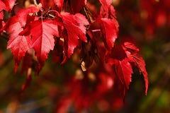Heller roter Herbstlaub des dekorativen Ahornbaums, Samen whirlybird sät die auch caled Samaras, die für Acer-Klasse typisch sind Lizenzfreies Stockfoto