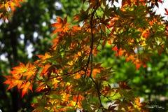 Heller roter japanischer Ahorn im Sonnenlicht lizenzfreies stockbild