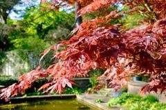 Heller roter japanischer roter ader palmatum Ahorn Stockfotografie