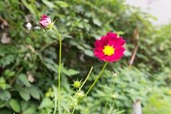 Heller roter Kosmos blüht mit acht Blumenblättern und einer gelben Mitte auf einem Stamm in voller Blüte im Sommer im Garten mit  Lizenzfreie Stockfotografie