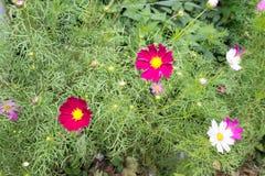 Heller roter Kosmos blüht mit acht Blumenblättern und einer gelben Mitte auf einem Stamm in voller Blüte im Sommer im Garten mit  Lizenzfreies Stockbild