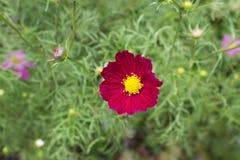 Heller roter Kosmos blüht mit acht Blumenblättern und einer gelben Mitte auf einem Stamm in voller Blüte im Sommer im Garten mit  Stockfoto