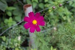 Heller roter Kosmos blüht mit acht Blumenblättern und einer gelben Mitte auf einem Stamm in voller Blüte im Sommer im Garten mit  Lizenzfreies Stockfoto