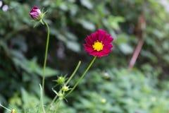 Heller roter Kosmos blüht mit acht Blumenblättern und einer gelben Mitte auf einem Stamm in voller Blüte im Sommer im Garten mit  Stockbilder
