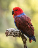Heller roter weiblicher Eclectus-Papagei, der auf dem Baum sitzt lizenzfreies stockfoto