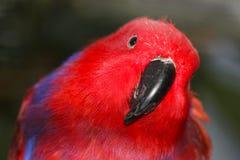Heller roter weiblicher eclectus Papagei mit dem Kopf gekippt zur Seite in der Frontansicht lizenzfreie stockbilder