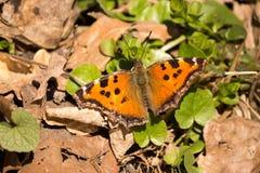 Heller Schmetterling Stockfoto