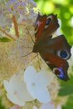 Heller Schmetterling Lizenzfreies Stockfoto