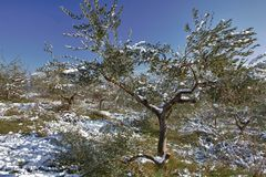 Schnee auf Olivenbaum Stockfoto